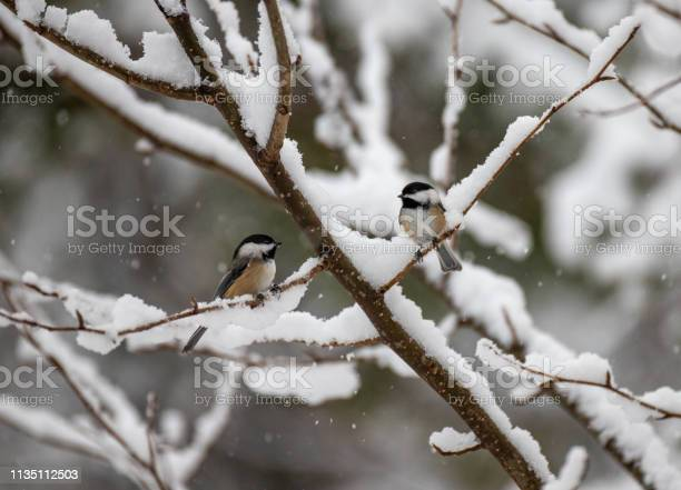 Photo of chickadee in snowy forest