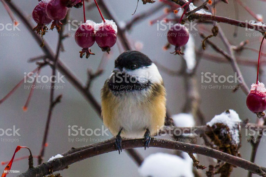 Chickadee in the crab apple tree stock photo