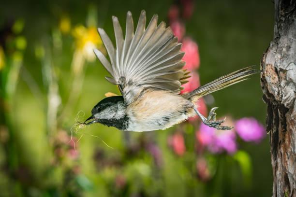 A chickadee leaving the nest stock photo