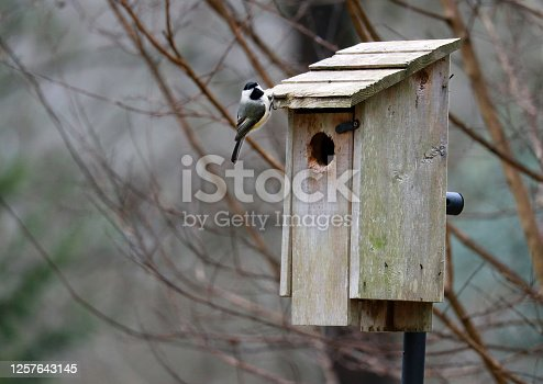 A Black-capped chickadee looks toward the camera while perched on the edge of a rustic wooden bird house.