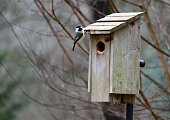 istock A chickadee looks toward the camera while perched on the edge of a wooden bird house. 1257643145