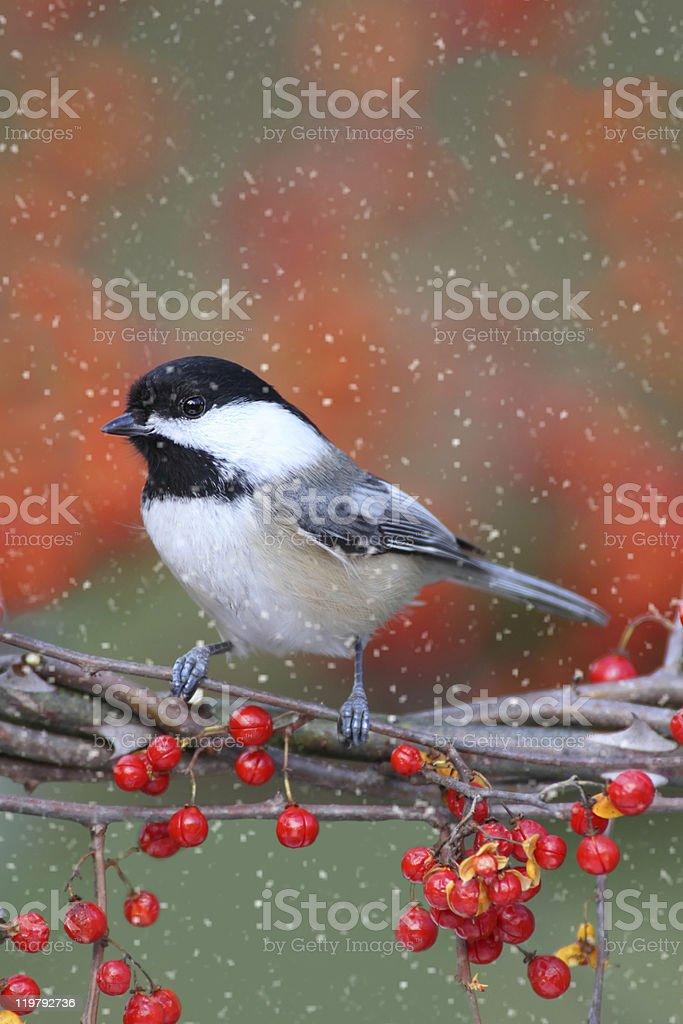 Chickadee on a Branch stock photo