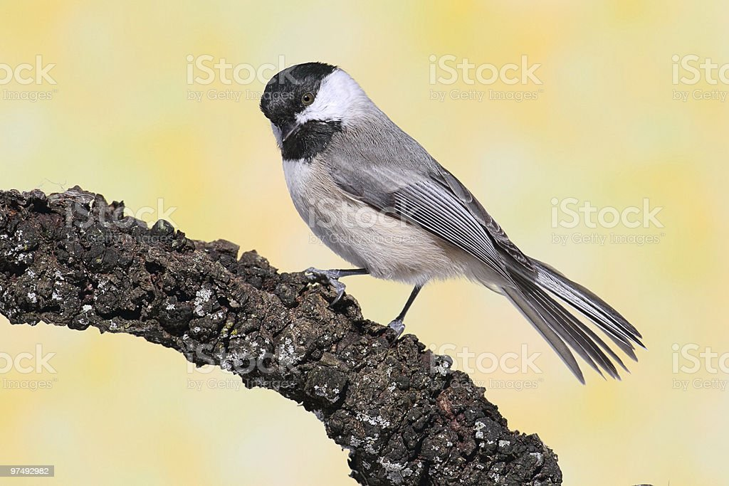 Chickadee on a Branch royalty-free stock photo