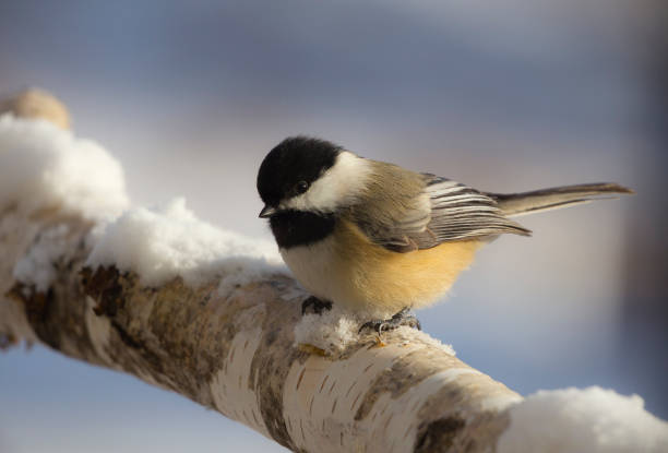 Chickadee on Birch Cute Chickadee on birch branch in a Minnesota winter chickadee stock pictures, royalty-free photos & images