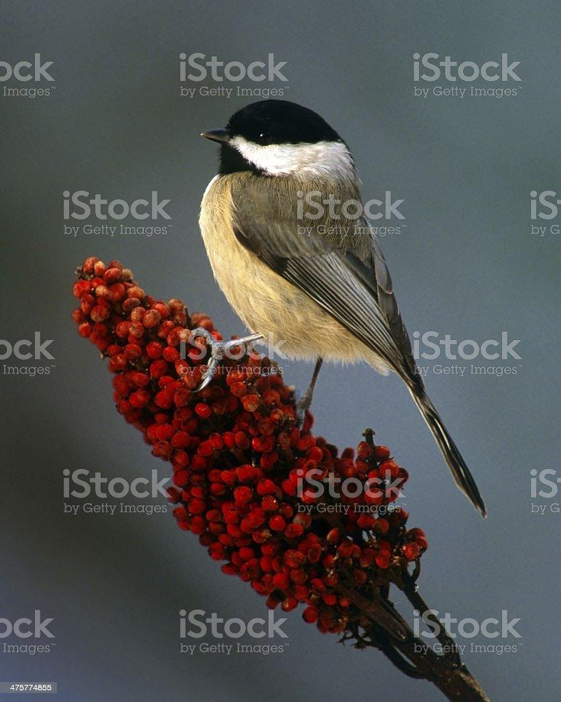 Chickadee on Bright Red Sumac stock photo
