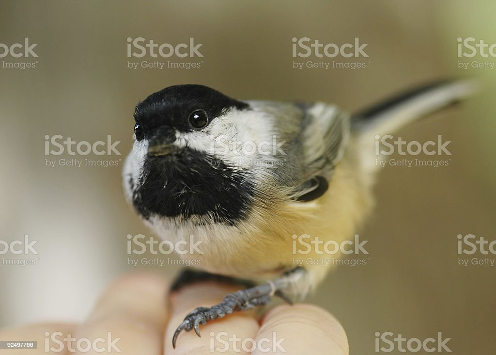 Chickadee on hand royalty-free stock photo