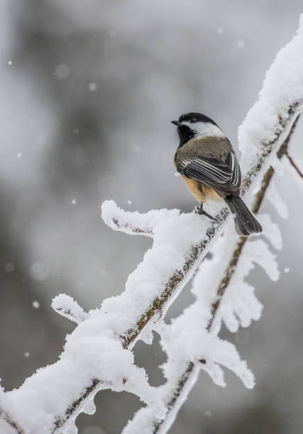 chickadee on icy branch chickadee on icy branch chickadee stock pictures, royalty-free photos & images