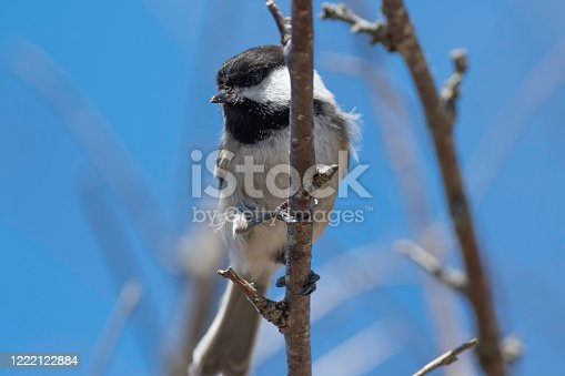 Black Capped Chickadee (Poecile atricapillus) perched in tree in early spring.