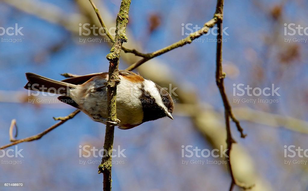 Chickadee perched on a twig in the winter sun. photo libre de droits