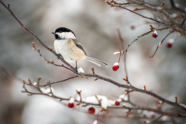 Chickadee A chickadee sitting on a snow filled branch chickadee stock pictures, royalty-free photos & images
