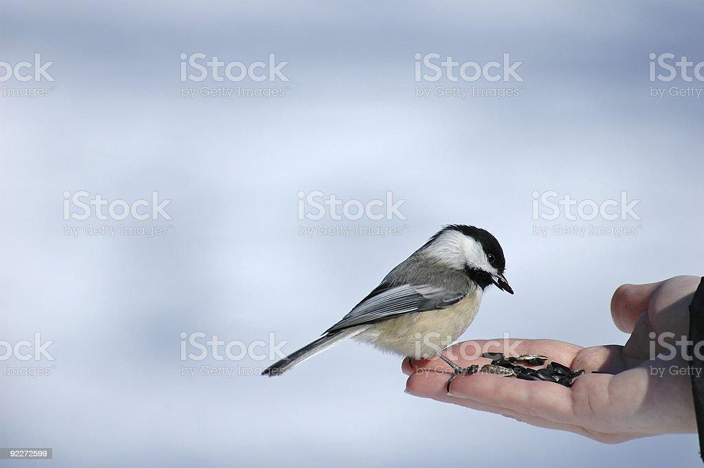 Chickadee stock photo