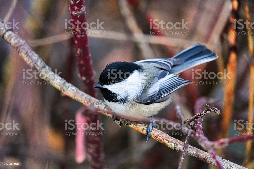 A chickadee sitting on a branch in winter stock photo