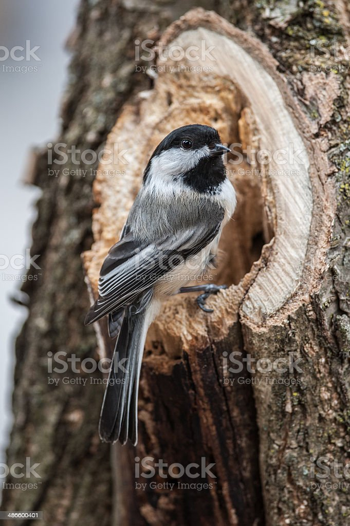 Chickadee Vertical stock photo