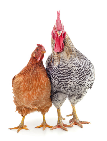 Chicken and cockr isolated on a white background.