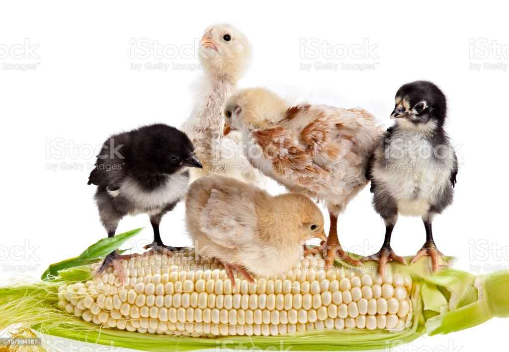 Chicken and Corn royalty-free stock photo