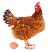 Chicken and egg. Chicken and egg on white background.