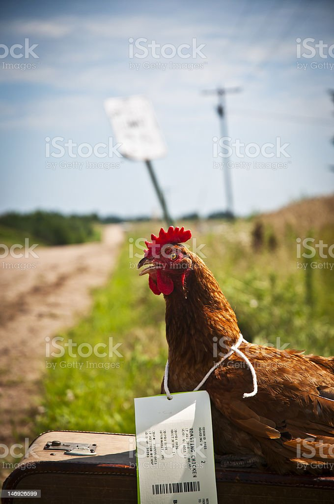 Chicken And Suitcase Stock Photo More Pictures Of Animal Istock