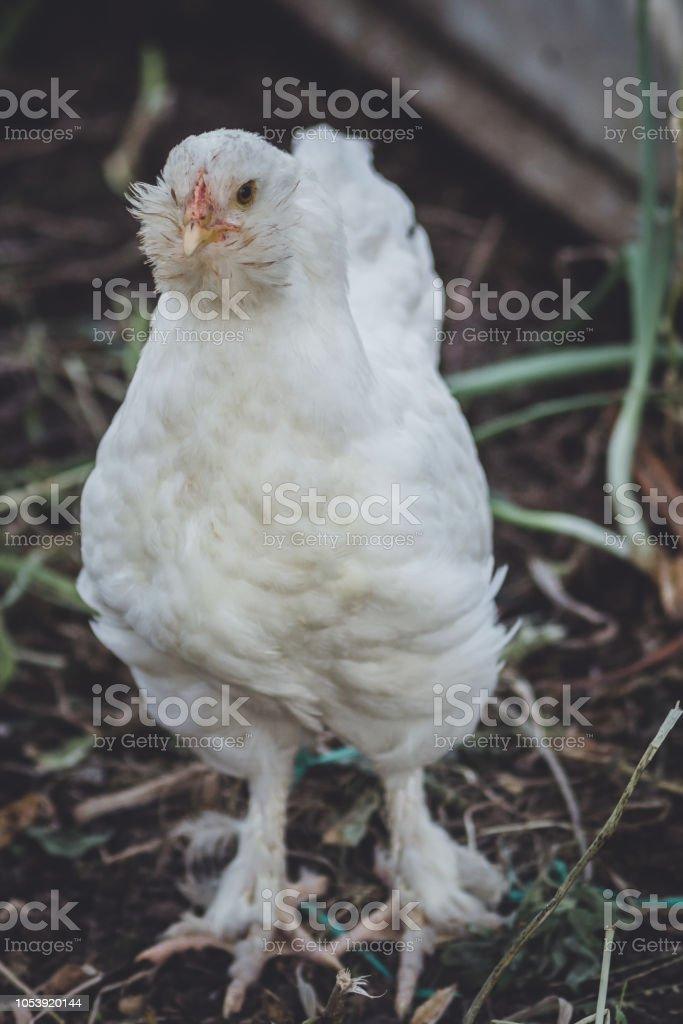 chicken aruacana white stock photo