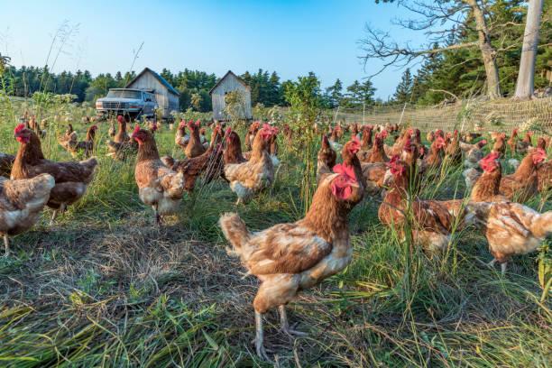 kyckling på en grön äng - frigående bildbanksfoton och bilder