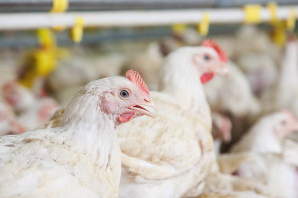 Chicken at farm stock photo