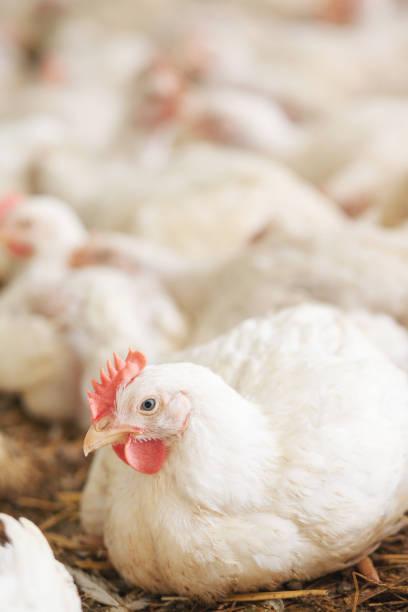 Huhn auf dem Bauernhof – Foto