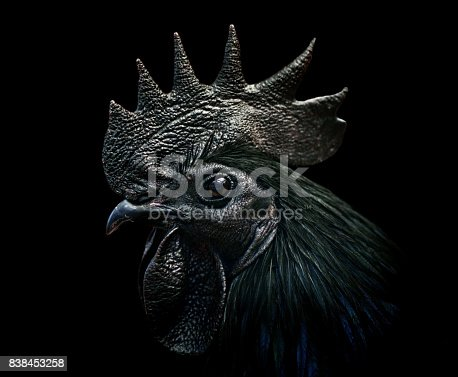 close-up of an ayam cemani cockerel / black rooster on black background. This species is complete black - a rare kind of hyperpigmentation.