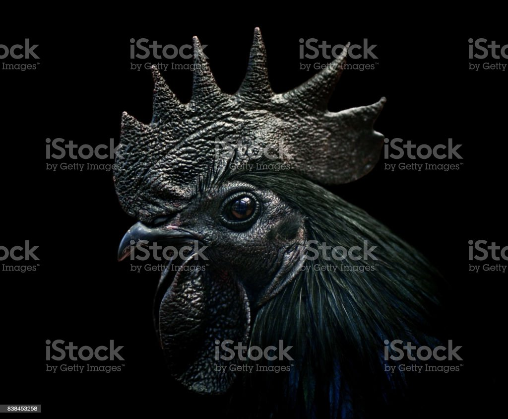 ayam cemani rooster stock photo