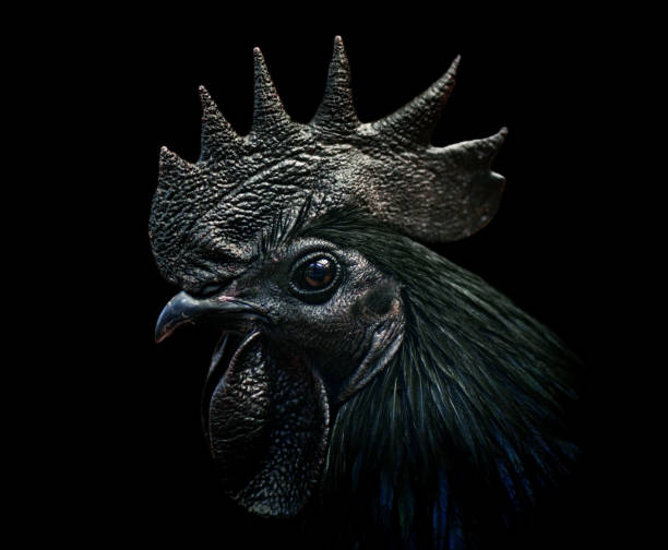 ayam cemani rooster close-up of an ayam cemani cockerel / black rooster on black background. This species is complete black - a rare kind of hyperpigmentation. rooster stock pictures, royalty-free photos & images