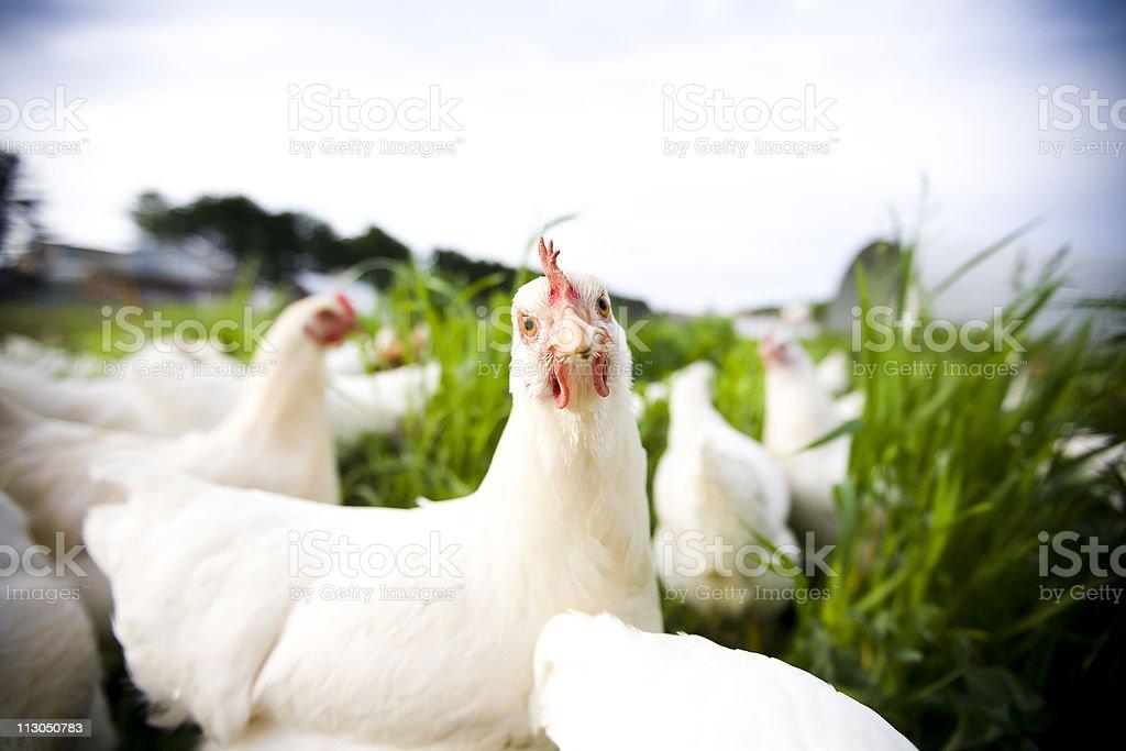 Chicken closeup - adobe rgb stock photo