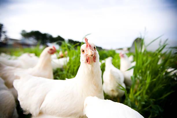 chicken closeup - adobe rgb - frigående bildbanksfoton och bilder