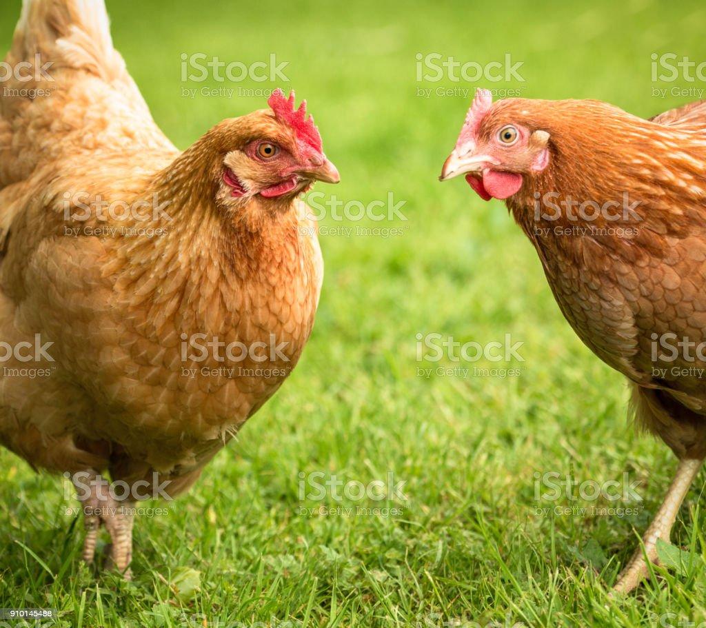 Chicken conspiracy stock photo