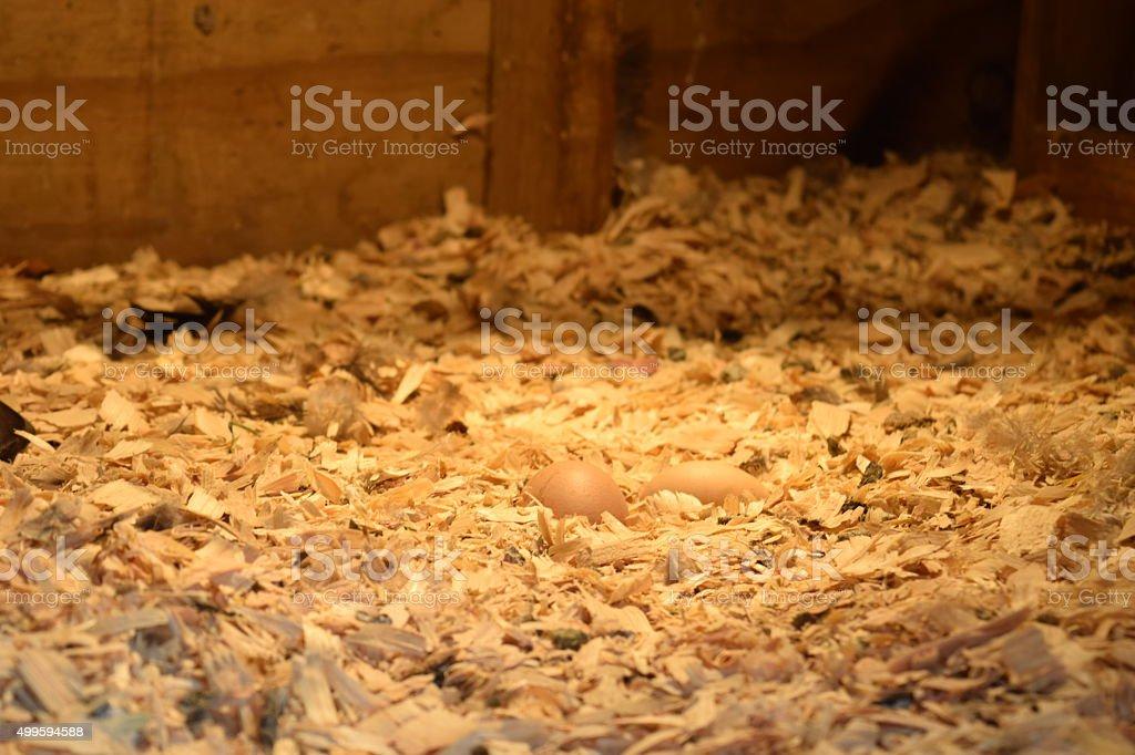Chicken Coop Heating Lights Fresh Farm Layed Eggs stock photo
