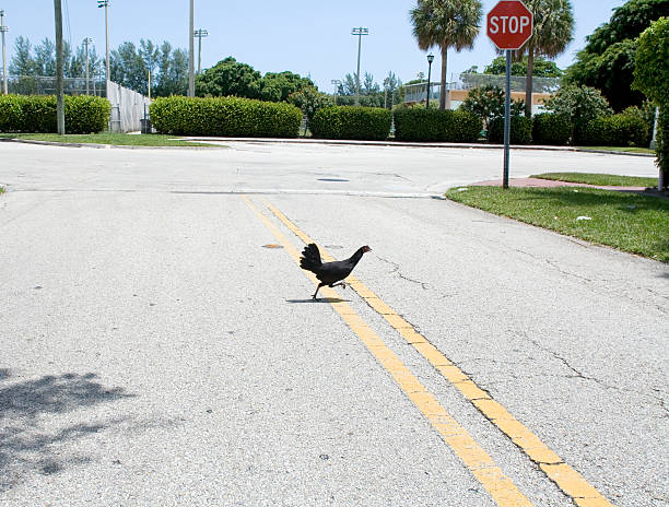 Chicken Crossing the Road stock photo