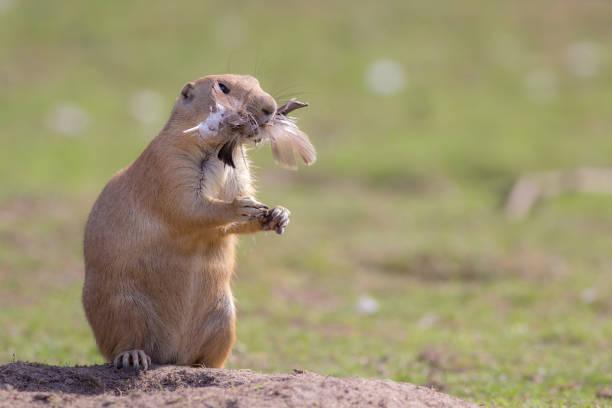 huhn abendessen. lustige tieres bild von einem niedlichen murmeltier-präriehund mit federn gefüllt. - lustiges huhn bilder stock-fotos und bilder