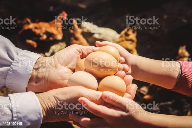 Chicken domestic eggs in hands selective focus picture id1128490445?b=1&k=6&m=1128490445&s=612x612&h=p1rkd07obats3qonpchwnyehjy2nwu25ajep kpmpbk=