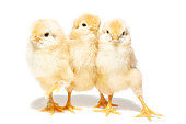 Chicken hatched from the shell on white background, Easter egg and chickens on white background, isolated