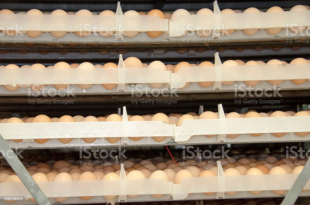 chicken eggs in commercial incubator royalty-free stock photo