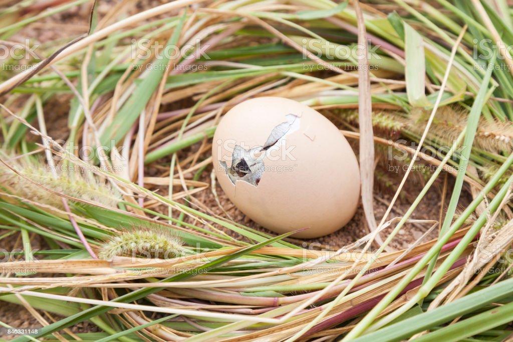 chicken eggs in hatching stock photo
