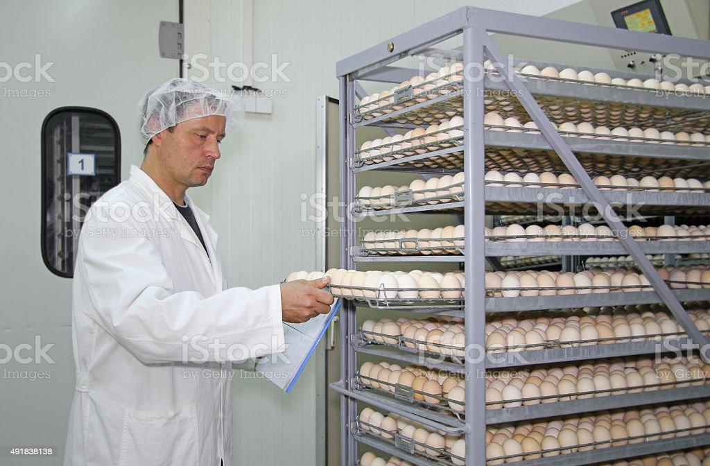 Chicken eggs in incubator stock photo