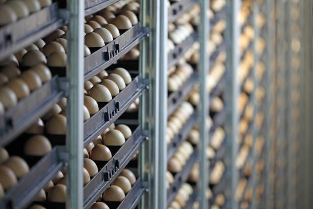 kippeneieren - chicken bird in box stockfoto's en -beelden