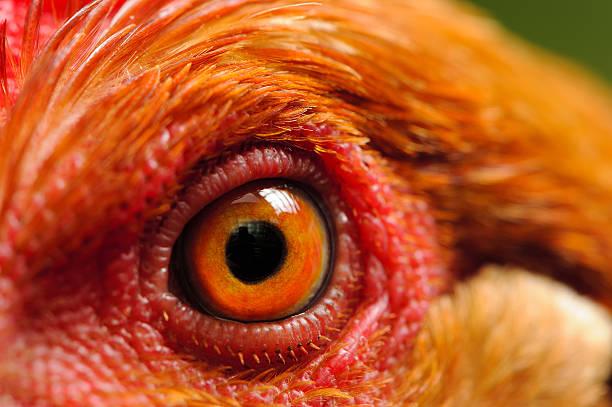 Please ẽxplain Chicken-eye-macro-picture-id627905052?k=6&m=627905052&s=612x612&w=0&h=R2t1dM9gntD_2HDWKZpFlf7immDIeaMbH_AduVe6JT0=