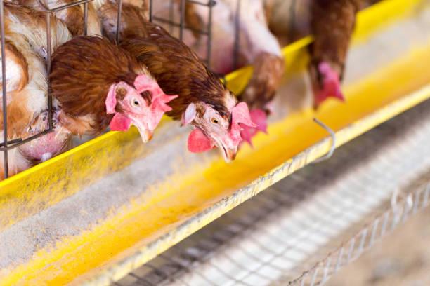 chicken farm, chicken breeder and production of chicken for eggs - allevatore foto e immagini stock