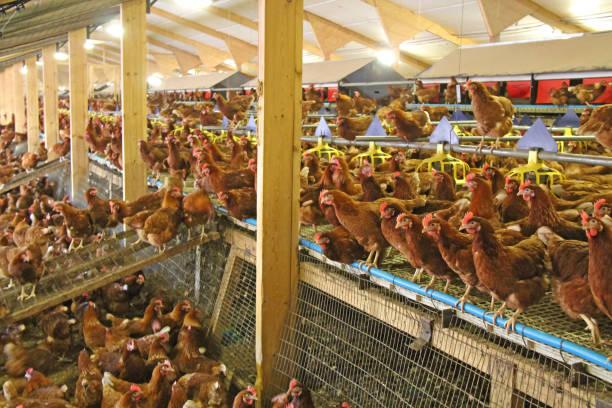kyckling gård. - frigående bildbanksfoton och bilder