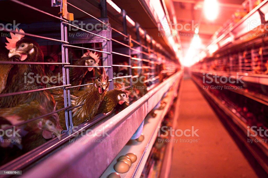 Chicken Farm royalty-free stock photo