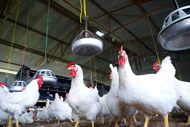Ferme de poulet - Photo