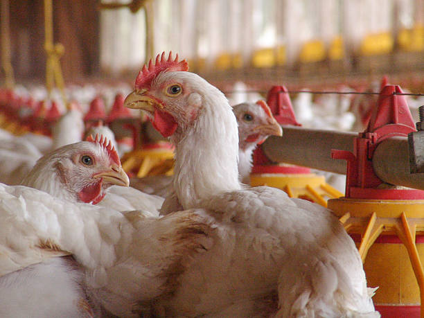 chicken farm Chicken in a poultry farm cockerel stock pictures, royalty-free photos & images
