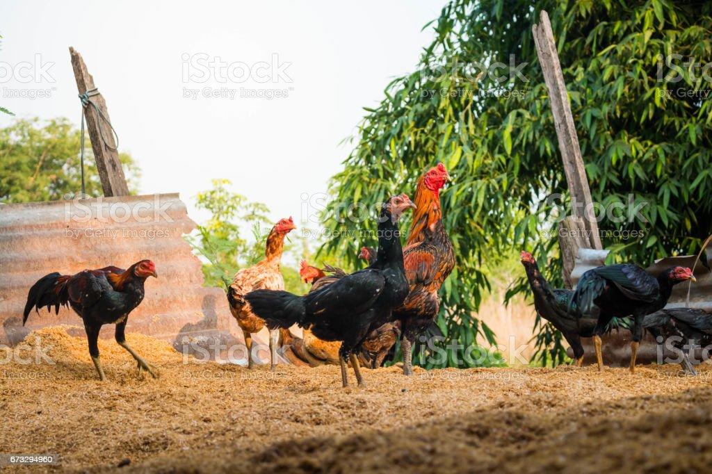 Chicken farm. royalty-free stock photo