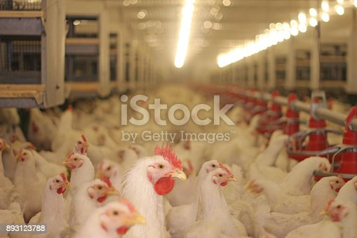 Chicken farm, eggs and poultry production