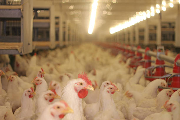 Chicken Farm Chicken farm, eggs and poultry production cockerel stock pictures, royalty-free photos & images