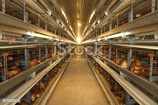 Chicken farm in Thailand